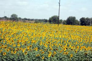 Sunflowers in Karnataka